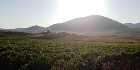 Morning Sun on the Vignards