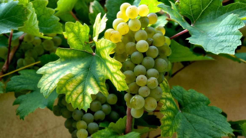 Grillo, un vitigno riscoperto